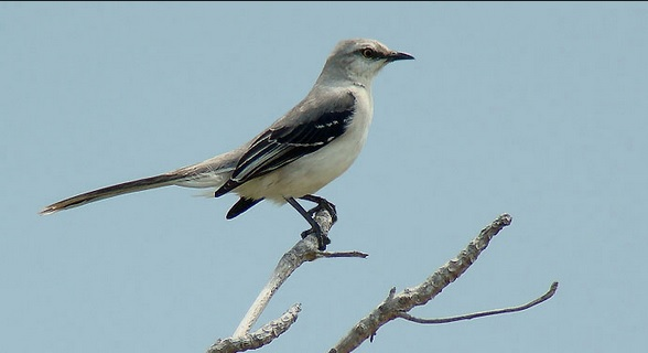 Mocking Bird Photo