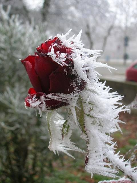 Frozen Rose Pic